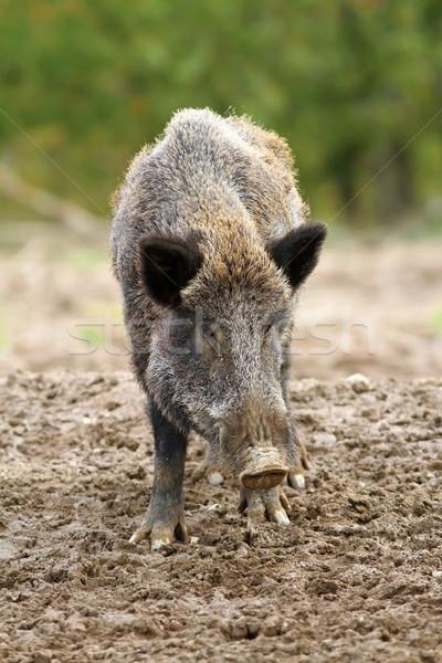 wild boar at a hunting farm Stock photo © taviphoto