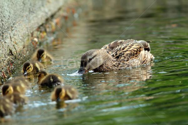 Kacsa család víz női tavasz boldog Stock fotó © taviphoto