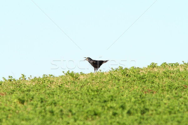crow singing on top of the hill Stock photo © taviphoto