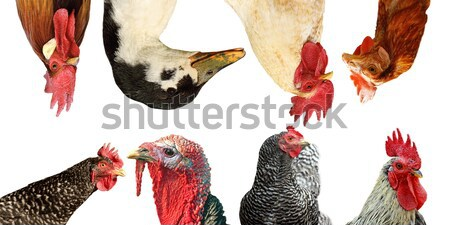 collection of poultry portraits Stock photo © taviphoto