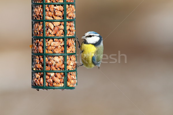 eurasian blue tit eating peanuts Stock photo © taviphoto