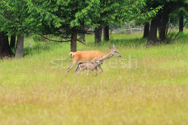 Piros szarvas sétál vad erdő erdő Stock fotó © taviphoto