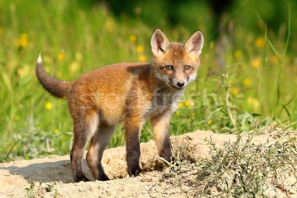 Singolare rosso Fox baby Foto d'archivio © taviphoto