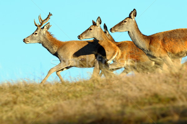 group of running red deers Stock photo © taviphoto
