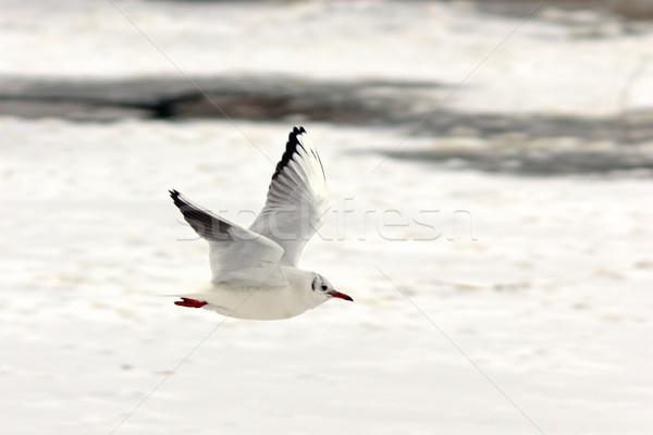 black headed gull in flight over frozen lake Stock photo © taviphoto