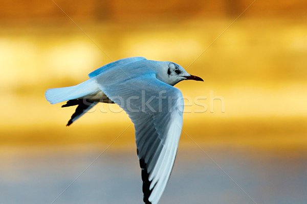 Stock photo: black headed gull in winter plumage