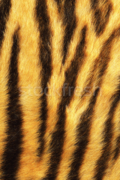 detailed tiger stripes fur Stock photo © taviphoto