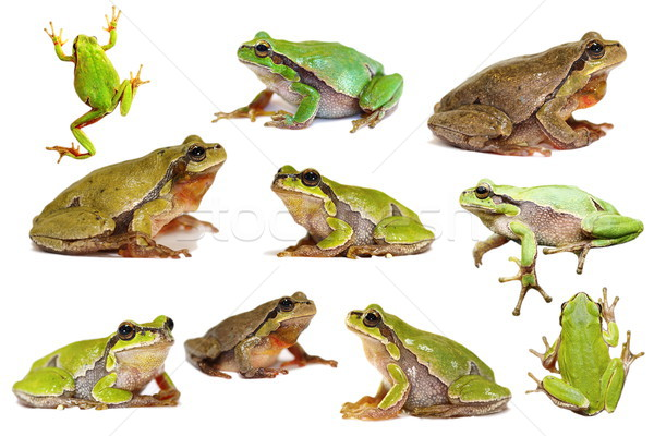 collection of isolated green tree frogs Stock photo © taviphoto