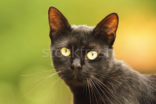 Fekete macska arc portré gyönyörű háziállat néz Stock fotó © taviphoto