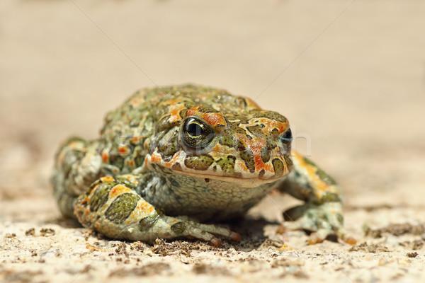 cute european green toad Stock photo © taviphoto