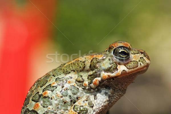 緑 ヨーロッパの ヒキガエル クローズアップ カラフル 庭園 ストックフォト © taviphoto