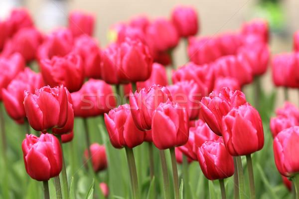 pink tulips field Stock photo © taviphoto