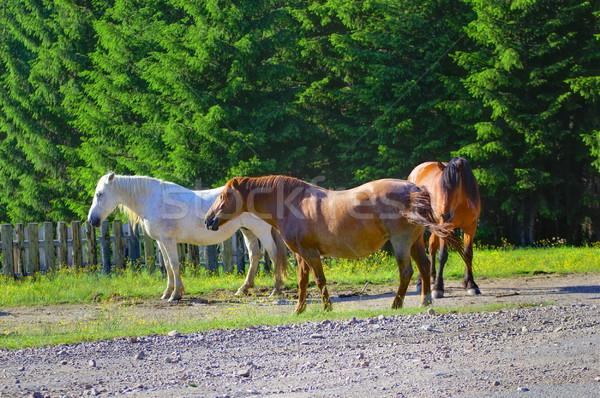 mountain horses Stock photo © taviphoto