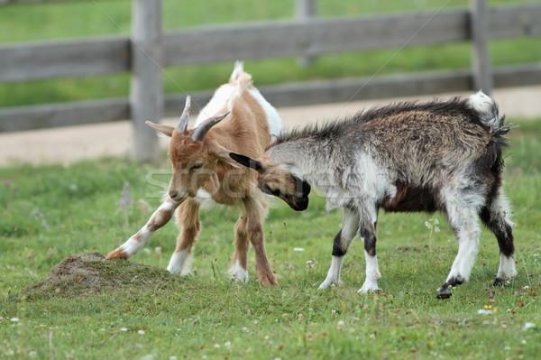 Stockfoto: Twee · geiten · spelen · jonge · boerderij · familie
