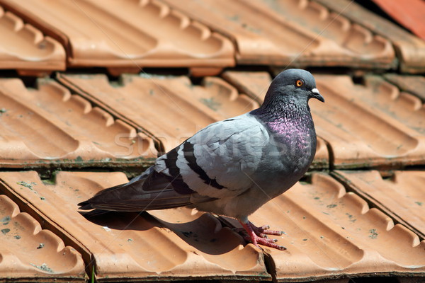 male pigeon on roof tiles Stock photo © taviphoto