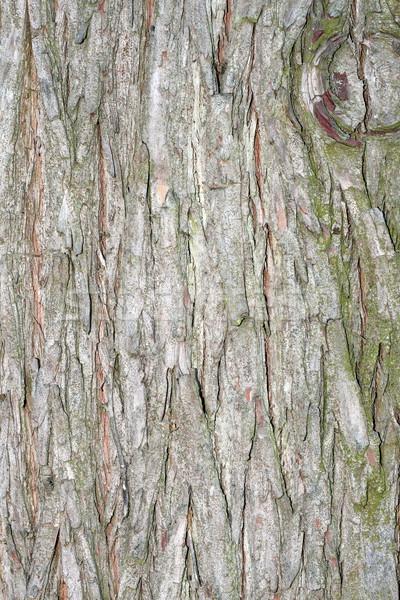 larch textured bark Stock photo © taviphoto