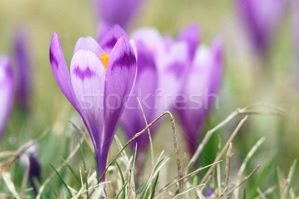 Belo flores silvestres primavera açafrão roxo Foto stock © taviphoto