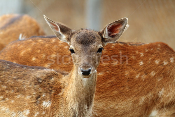 fallow deer calf curious face Stock photo © taviphoto