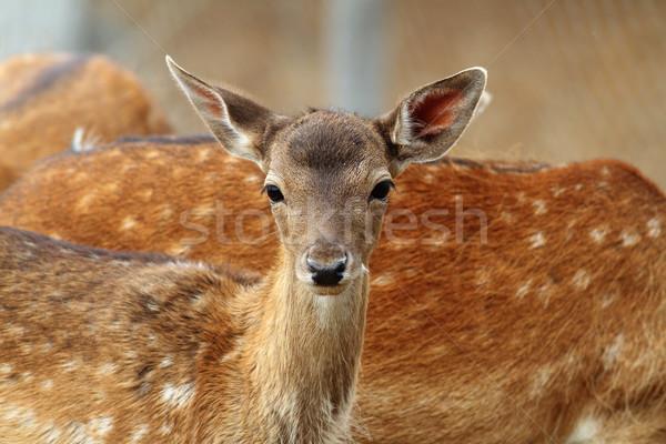 Stock photo: fallow deer calf curious face