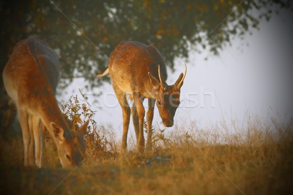 fallow deers with instagram effect Stock photo © taviphoto