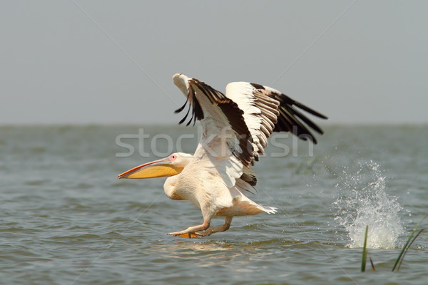 great pelican taking off from the water Stock photo © taviphoto