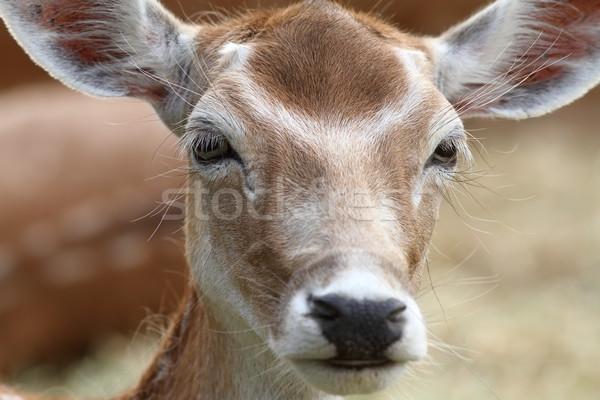 Portrait cerfs regarder caméra visage yeux Photo stock © taviphoto