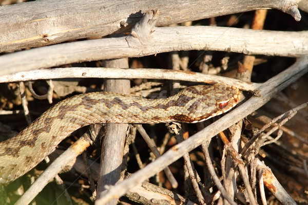 common adder basking on twigs Stock photo © taviphoto