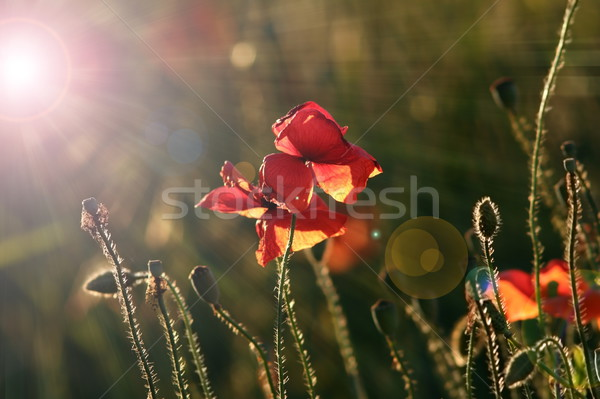 wild poppies in beautiful dawn light Stock photo © taviphoto