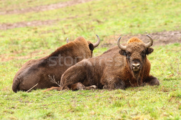 Stock photo: european bisons on green lawn