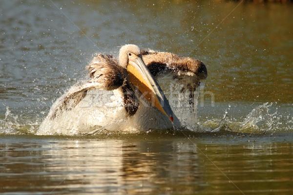Juvenilis csobbanás víz nagyszerű természet toll Stock fotó © taviphoto