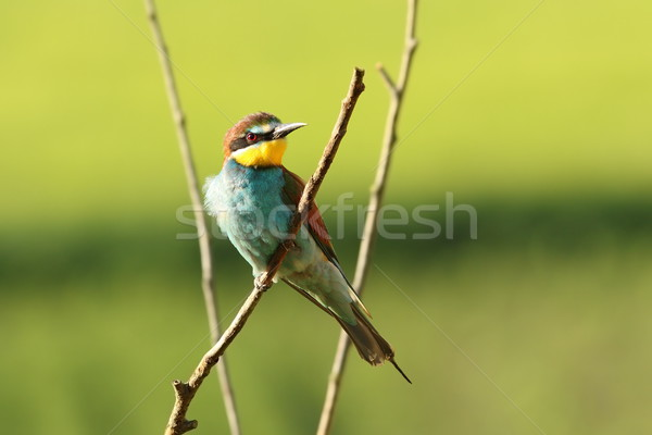 beautiful european bee eater Stock photo © taviphoto