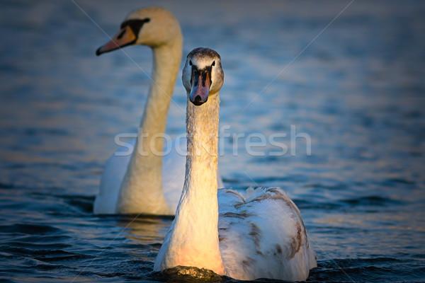 Juvenil silenciar cisne natação azul lago Foto stock © taviphoto