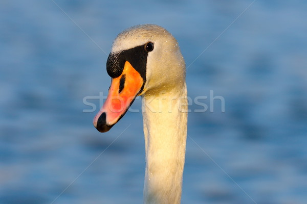 portrait of wild mute swan Stock photo © taviphoto