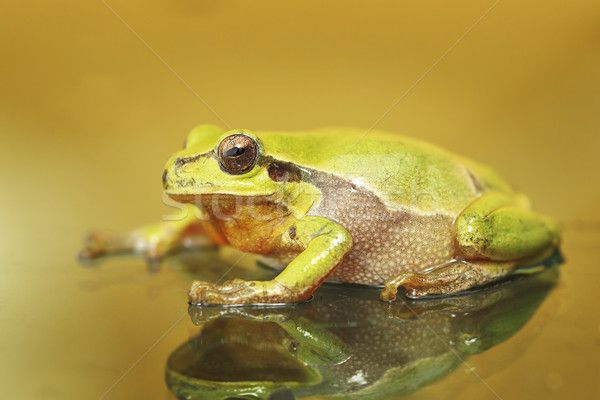 Cute kleurrijk groene boom kikker oog achtergrond Stockfoto © taviphoto