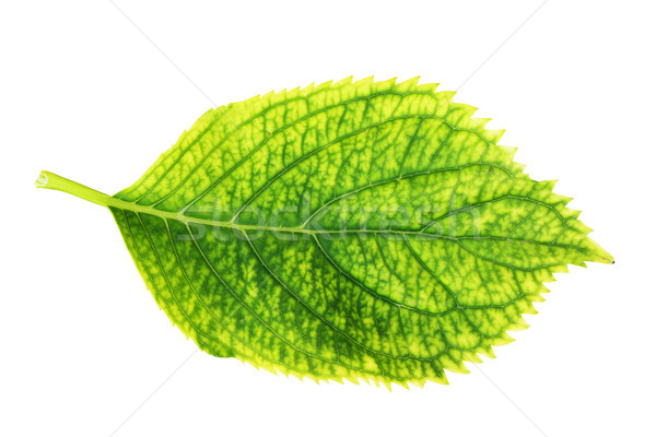 isolated green hortensia leaf Stock photo © taviphoto