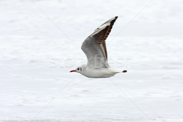 juvenile black headed gull in flight Stock photo © taviphoto