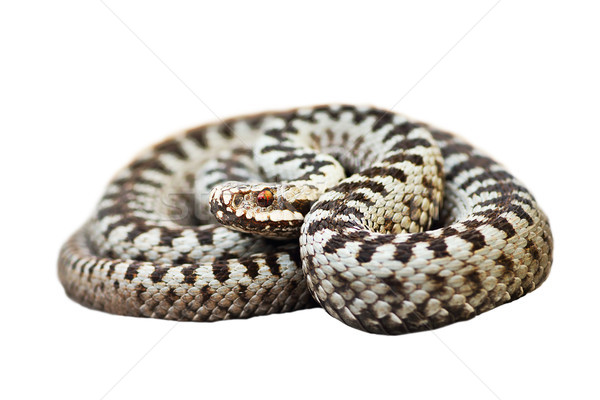 isolated male Vipera berus Stock photo © taviphoto