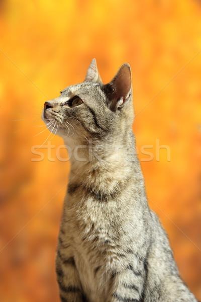 striped cat in autumn scene Stock photo © taviphoto