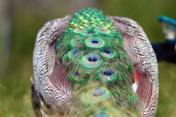Stok fotoğraf: Soyut · görmek · tavuskuşu · detay · kuyruk