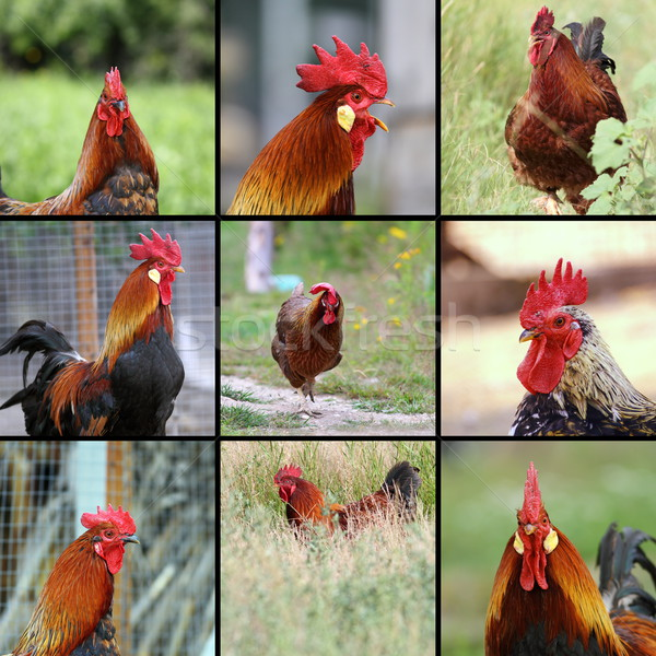 images of roosters Stock photo © taviphoto