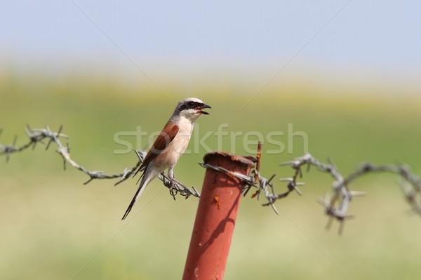 lanius collurio on barbed wire Stock photo © taviphoto