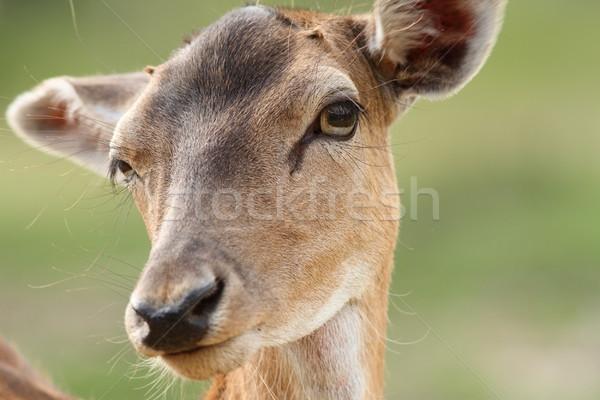 female fallow deer face Stock photo © taviphoto
