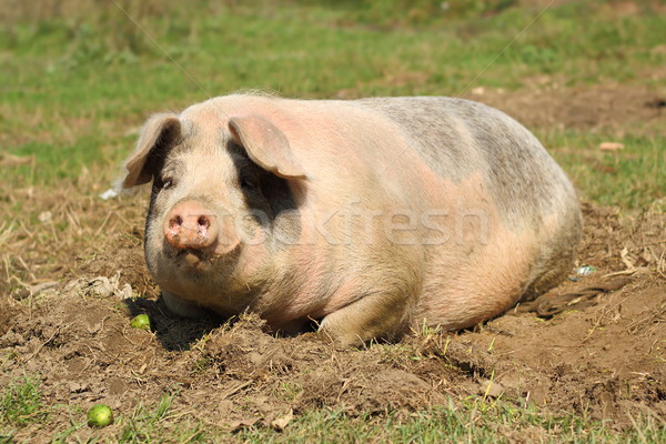 lazy sow laying down Stock photo © taviphoto
