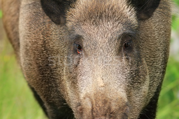 wild boar portrait Stock photo © taviphoto