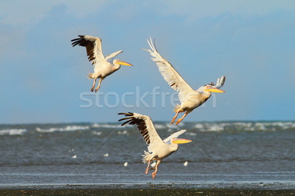 three great pelicans taking flight over the sea Stock photo © taviphoto