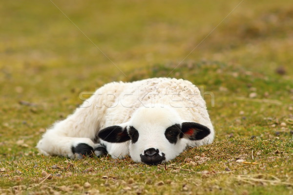 Witte lam leggen gras lui keurig Stockfoto © taviphoto
