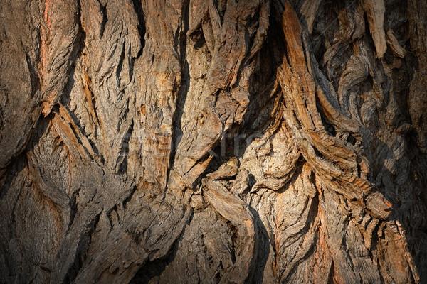 öreg nyárfa mintázott ugatás nagy fa Stock fotó © taviphoto