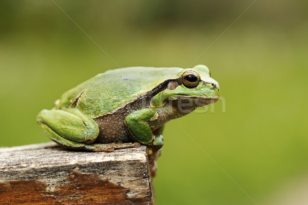 colorful tree frog standing on piece of wood Stock photo © taviphoto