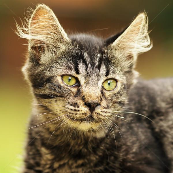かわいい 縞模様の 子猫 肖像 国内の 美しい ストックフォト © taviphoto