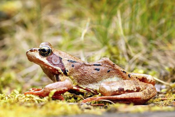 европейский лягушка природного среда обитания коричневый Сток-фото © taviphoto